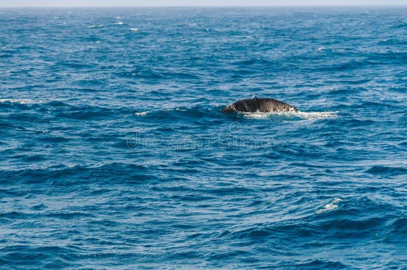 Aleta de cola de una ballena derecha meridional que se zambulle imágenes de archivo libres de regalías