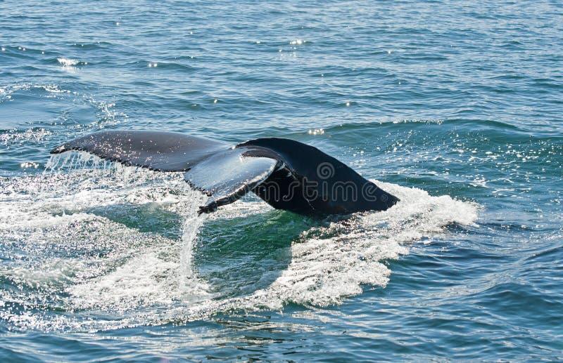 Aleta de la ballena de Humpback imágenes de archivo libres de regalías