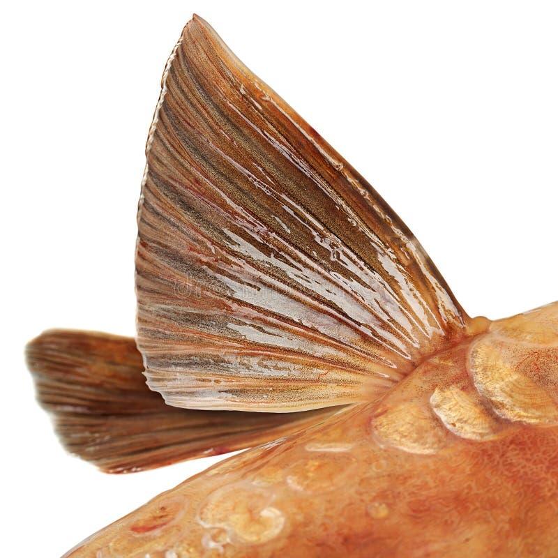 Aleta de los pescados de la carpa de espejo imagenes de archivo