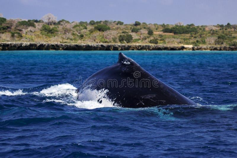 Aleta dorsal da baleia de corcunda em Moçambique fotografia de stock royalty free