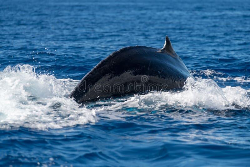 Aleta dorsal de la ballena jorobada imágenes de archivo libres de regalías