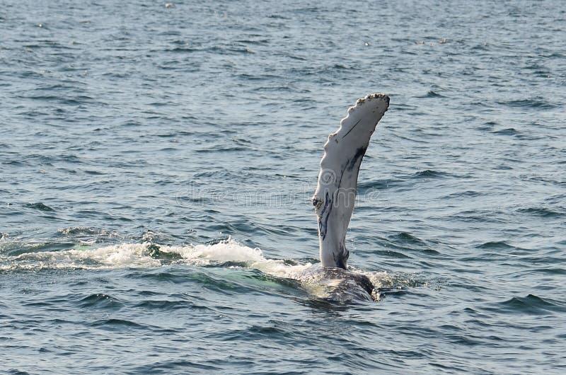 aleta trasera de la ballena jorobada poderosa fotografía de archivo