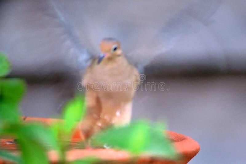 Aleteo en el baño del pájaro fotos de archivo