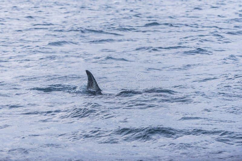 Aletta dell'orca femminile Norvegia fotografia stock