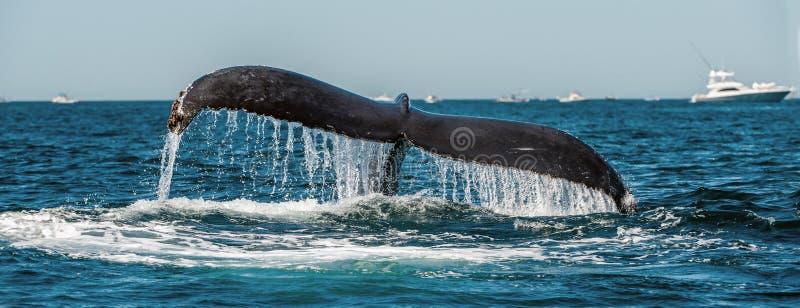 Aletta di coda della megattera vigorosa sopra superficie dell'oceano Nome scientifico: Megaptera novaeangliae Habitat naturale fotografia stock libera da diritti