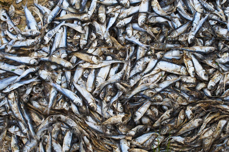 Download Alewives stock photo. Image of alewive, shore, annual - 20331566