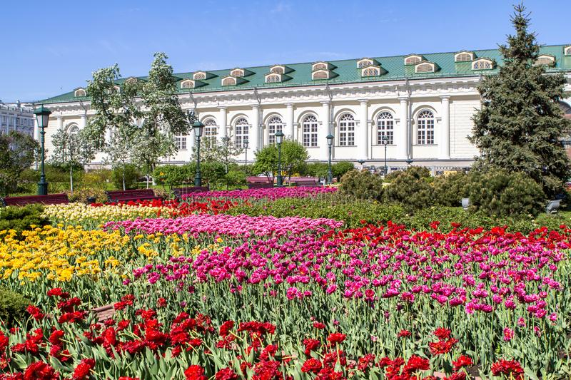 Alexander Garden in Moscow on Spring, Russia. Colourful Tulips in Alexander Garden on Spring in Moscow, Russia stock photography