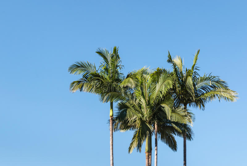 Alexandra palm trees against blue sky. With copy space stock image