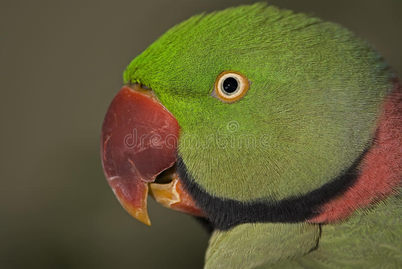 alexandrine parakeet obraz stock