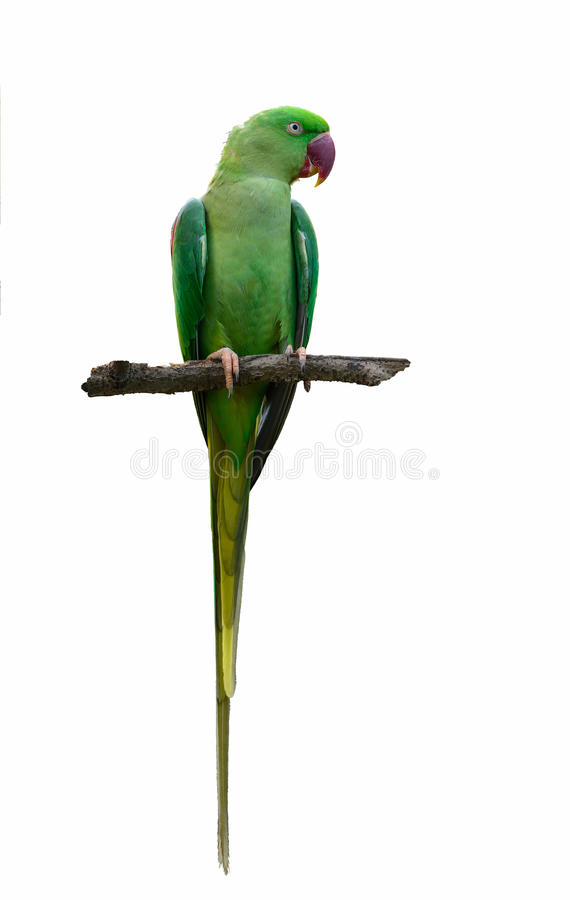Alexandrine parakeet or Alexandrine parrot or Psittacula eupatria on branch. royalty free stock image