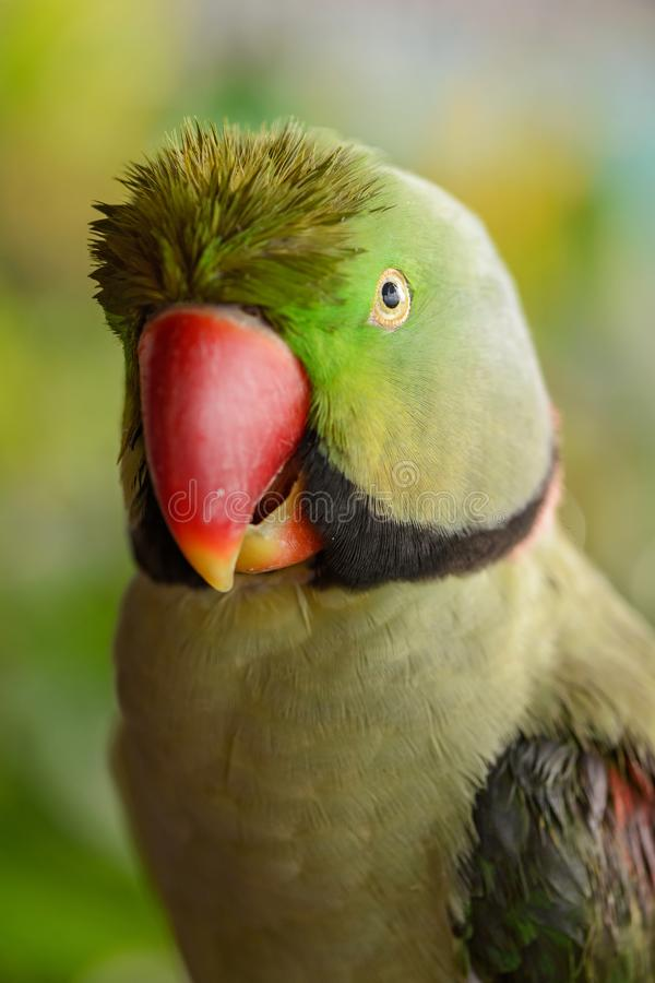 Alexandrine Parakeet - eupatria dello Psittacula immagini stock libere da diritti