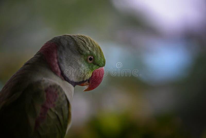 Alexandrine Parakeet - eupatria dello Psittacula immagine stock libera da diritti