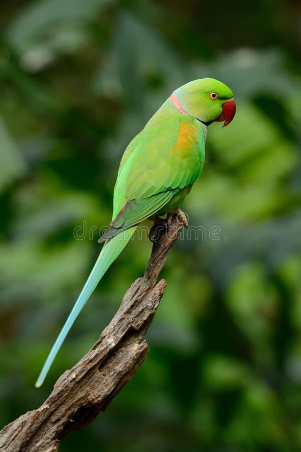 Alexandrine Parakeet masculina (eupatria del Psittacula) fotografía de archivo