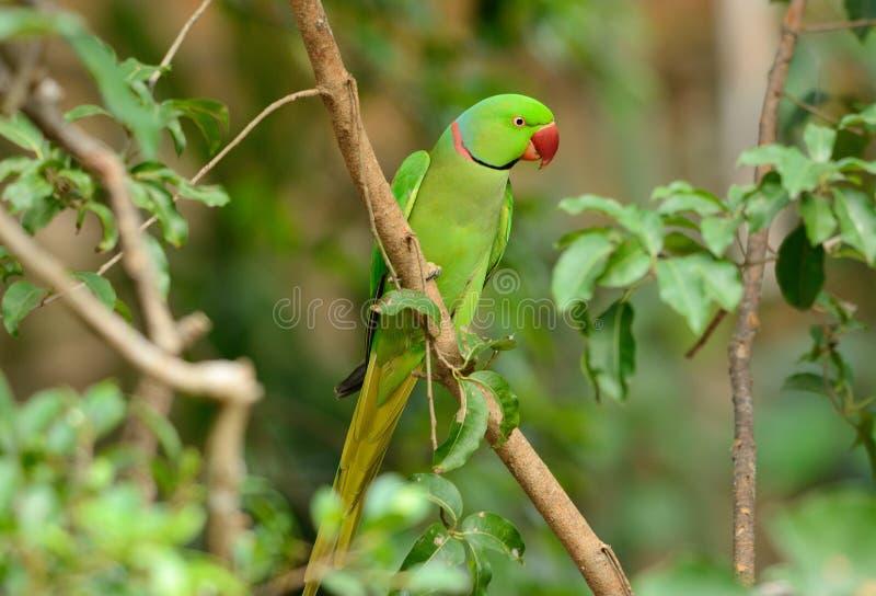 Alexandrine Parakeet masculina (eupatria do Psittacula) fotografia de stock