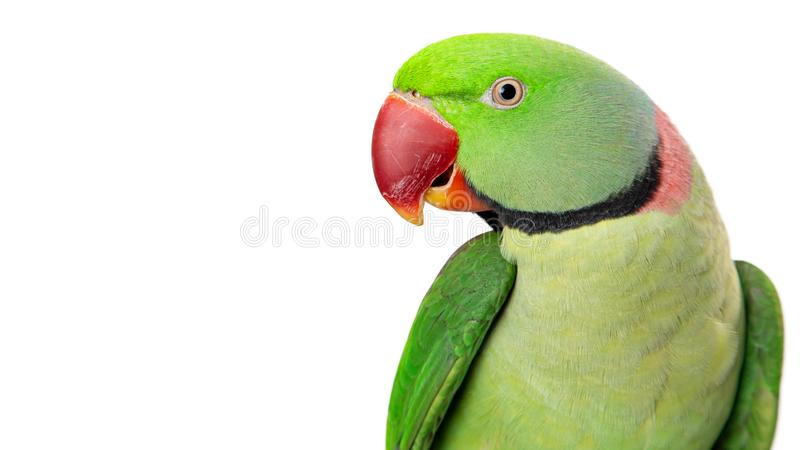 Alexandrine Parrot Closeup With Copy-Raum stockbild