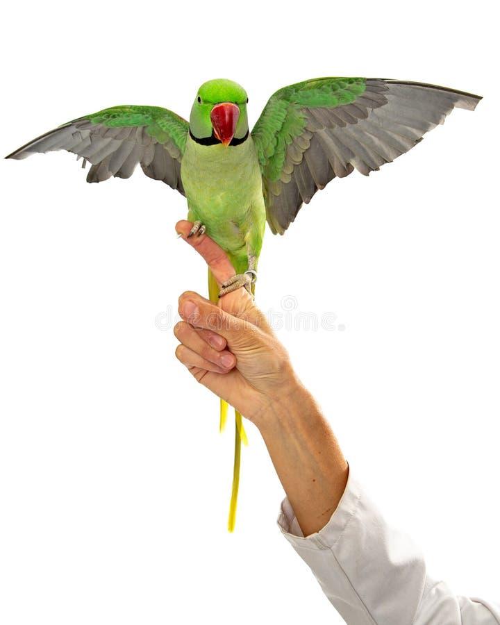 Alexandrine Parrot na propagação das asas do dedo dos veterinários foto de stock royalty free