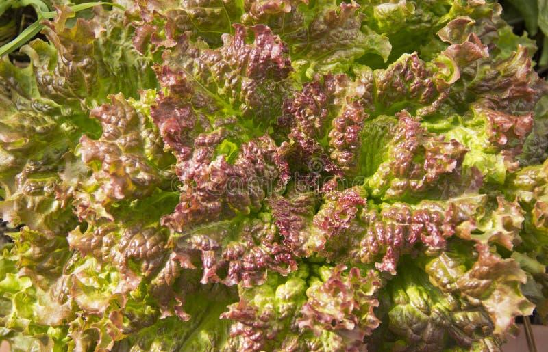 Alface crescida fresca na luz natural fotos de stock royalty free