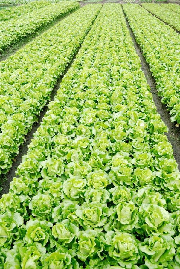 A alface crescida nos lotes vegetais, imagens de stock royalty free