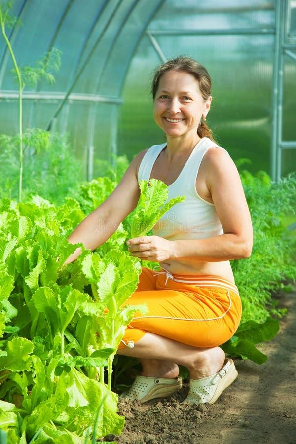 Alface da colheita da mulher fotografia de stock royalty free