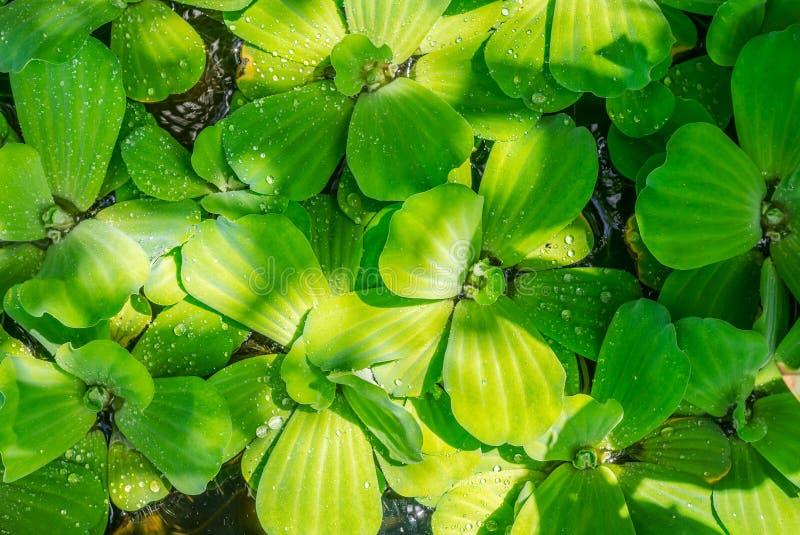 A alface de água verde imagens de stock