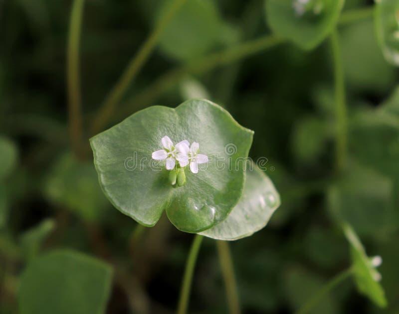 A alface do mineiro, Purslane de inverno, perfoliata do Claytonia Você pode usá-los em saladas do legume fresco O Purslane de inv imagem de stock