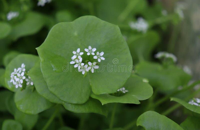 A alface do mineiro, Purslane de inverno, perfoliata do Claytonia Voc? pode us?-los em saladas do legume fresco O Purslane de inv fotos de stock