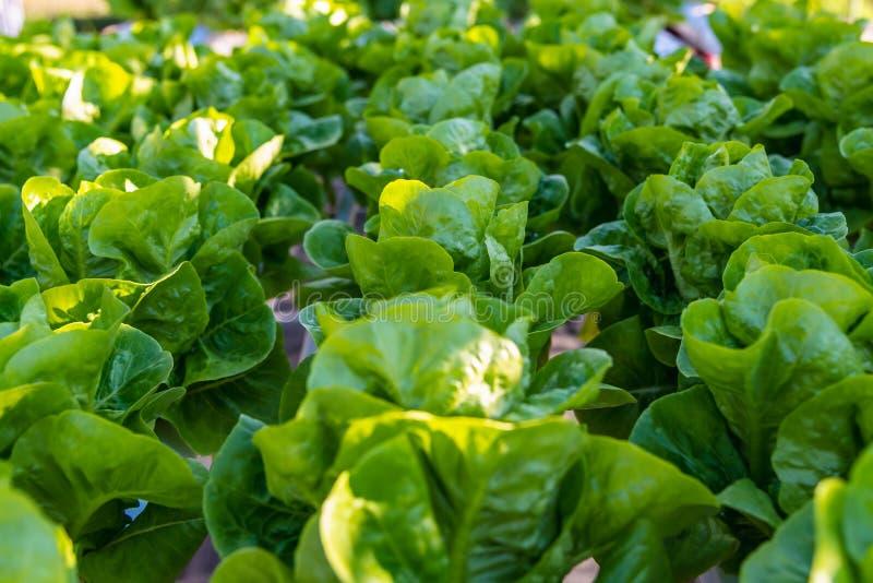 Alface hidropônica dos vegetais de salada na plantação da exploração agrícola do sistema da hidroponia foto de stock royalty free