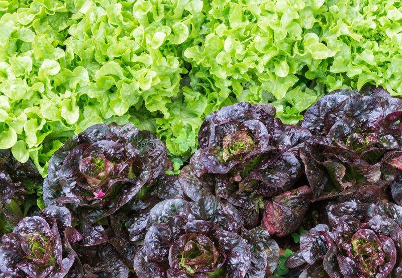 Alface orgânica fresca fotografia de stock