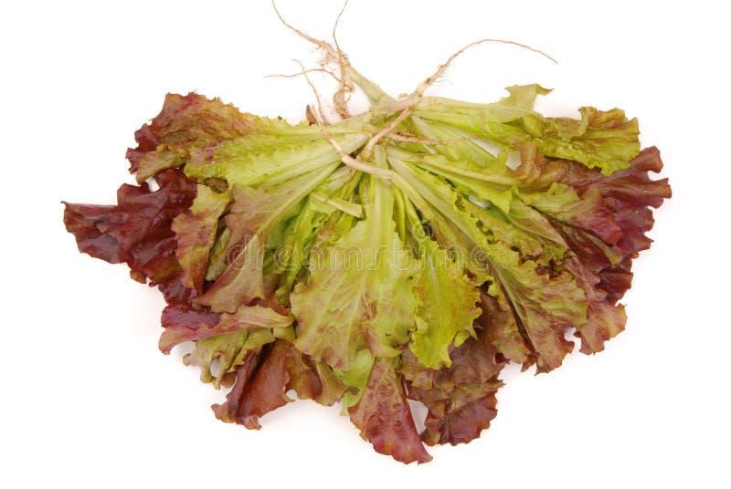 Alface verde e roxa, salada isolada; salada vermelha verde do ANG, f fotos de stock