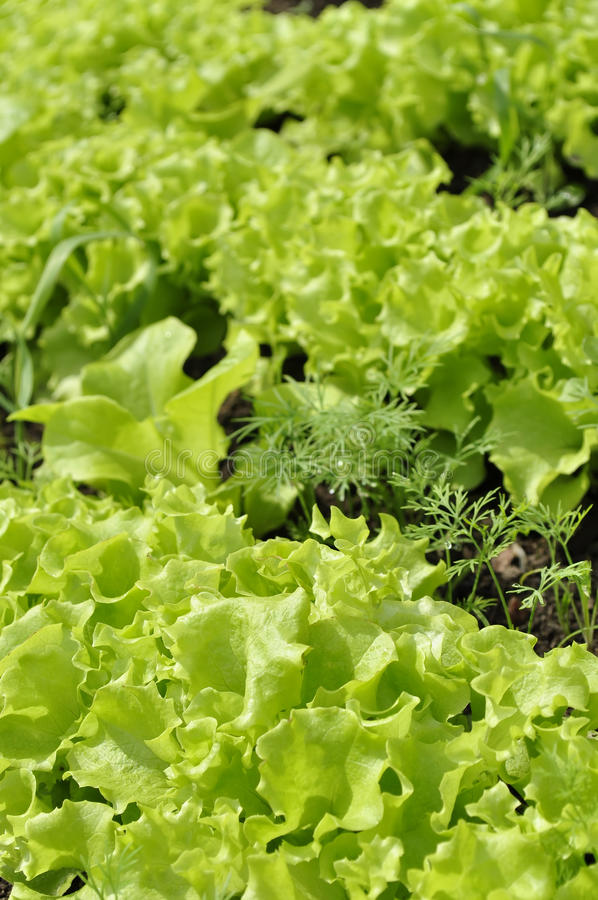 Alface verde na cama fotografia de stock royalty free