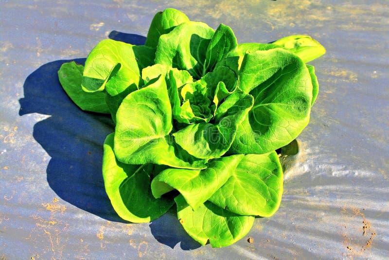 Download Alface verde nova imagem de stock. Imagem de cresça, plástico - 29848475