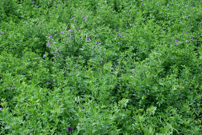 alfalfa royaltyfri bild