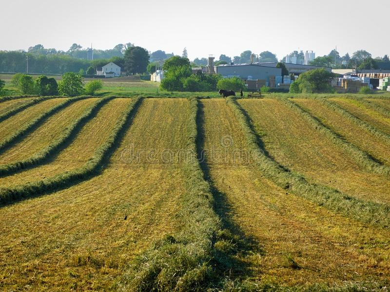 Alfalfa fields being harvested by an Amish man and team of horses. Alfalfa grass being cut, then collected into long piles for easier baling.  Amish man and a stock photography