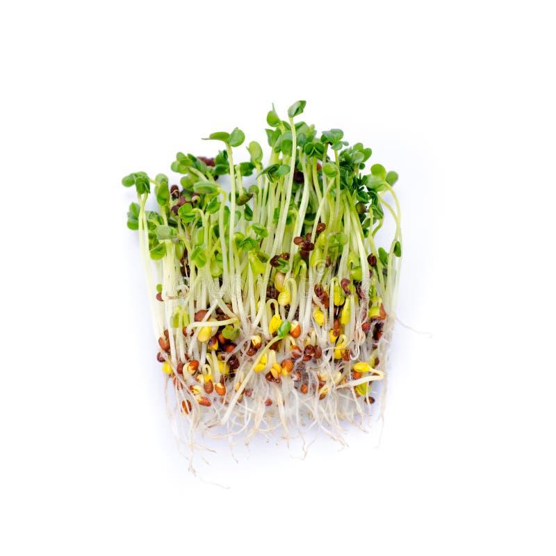 Alfalfa flance zdjęcie stock