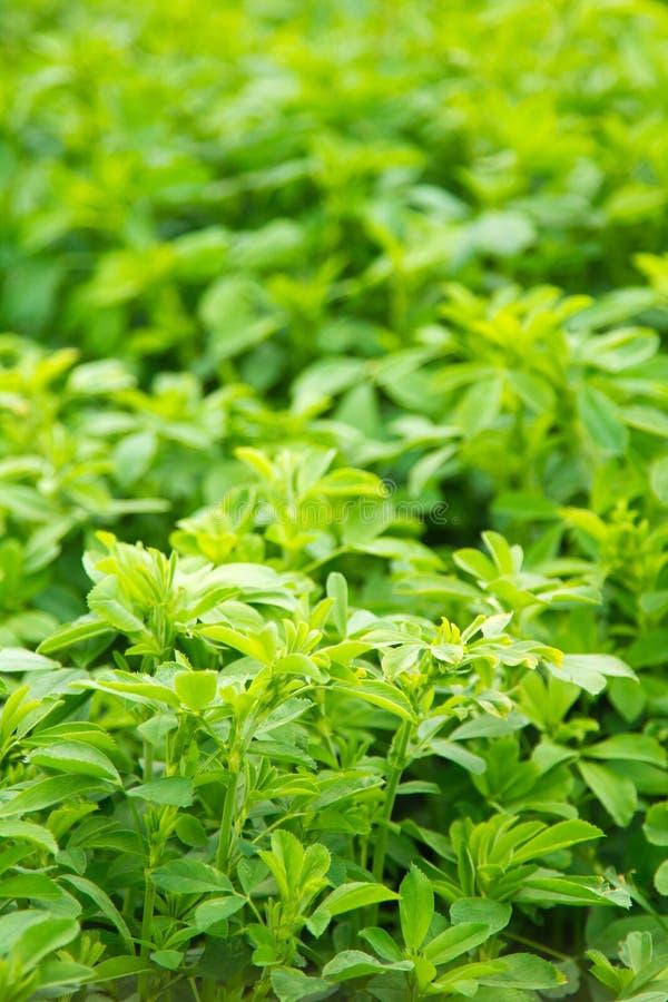 alfalfa lucerna