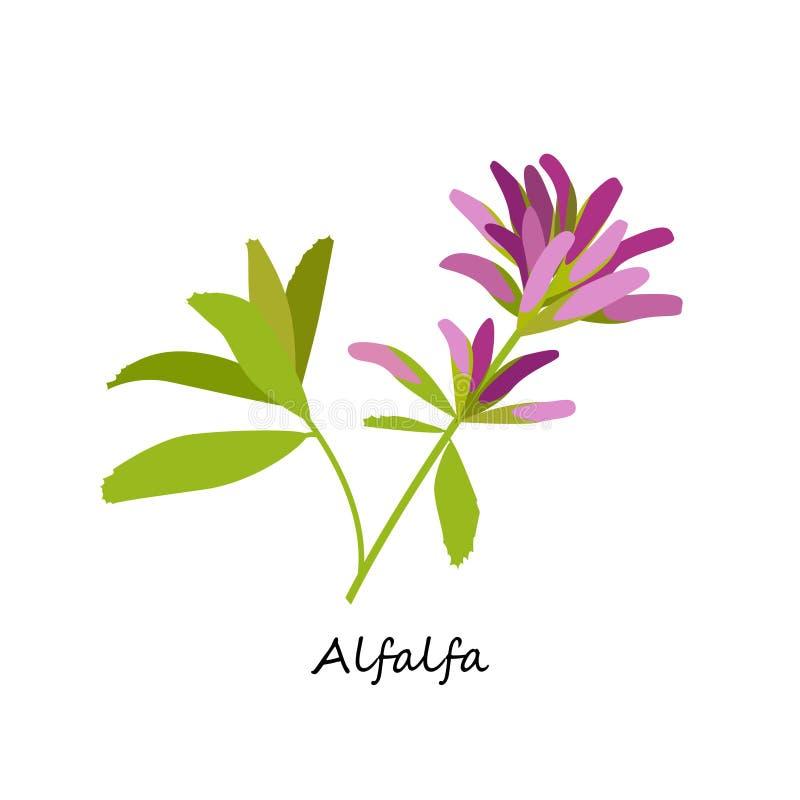 Alfalfa sativa Medicago stock illustrationer