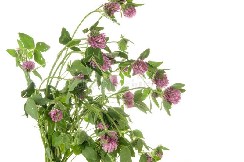 Alfalfa som isoleras på vit royaltyfri fotografi