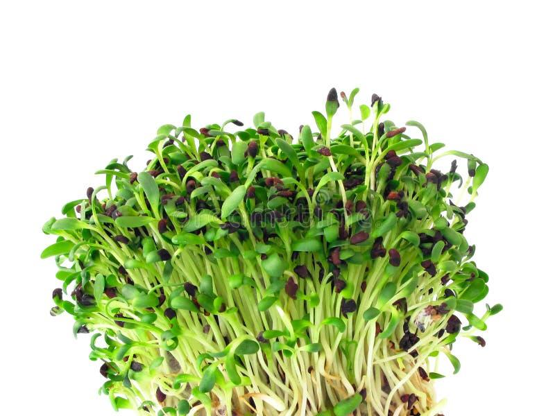 Alfalfa sprouts. Close-up of fresh alfalfa sprouts royalty free stock photo