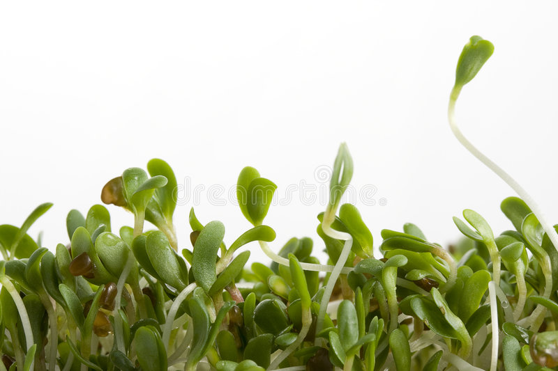 Download Alfalfa sprouts on white stock image. Image of growing - 4039135