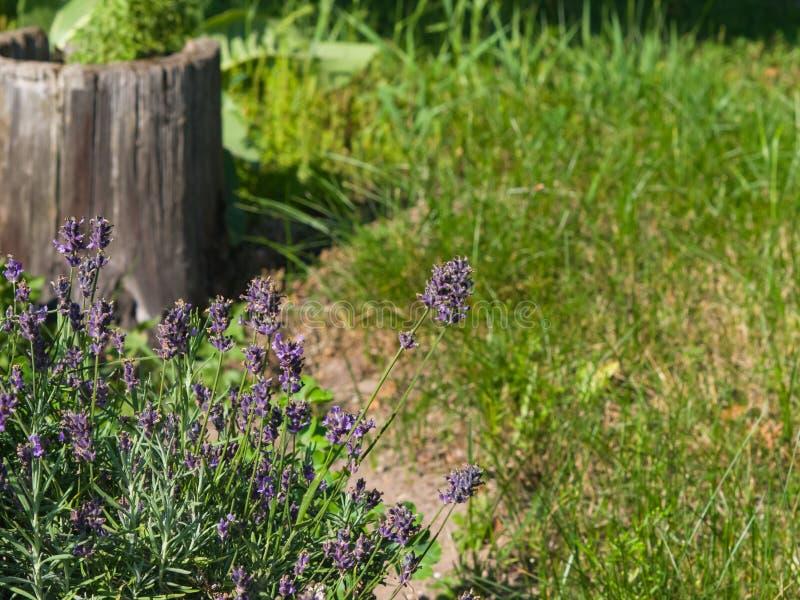 Alfazema, angustifolia do Lavandula, flores no close-up do canteiro de flores com fundo do bokeh, foco seletivo, DOF raso foto de stock