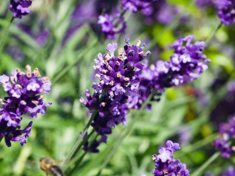 Alfazema, angustifolia do Lavandula, flores no macro da haste com fundo do bokeh, foco seletivo, DOF raso imagens de stock