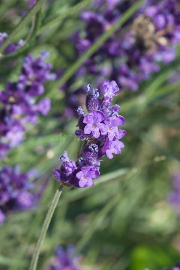 Alfazema, angustifolia do Lavandula, flores no macro da haste com fundo do bokeh, foco seletivo, DOF raso imagem de stock royalty free