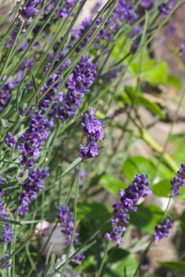 Alfazema, angustifolia do Lavandula, flores no macro da haste com fundo do bokeh, foco seletivo, DOF raso imagens de stock royalty free