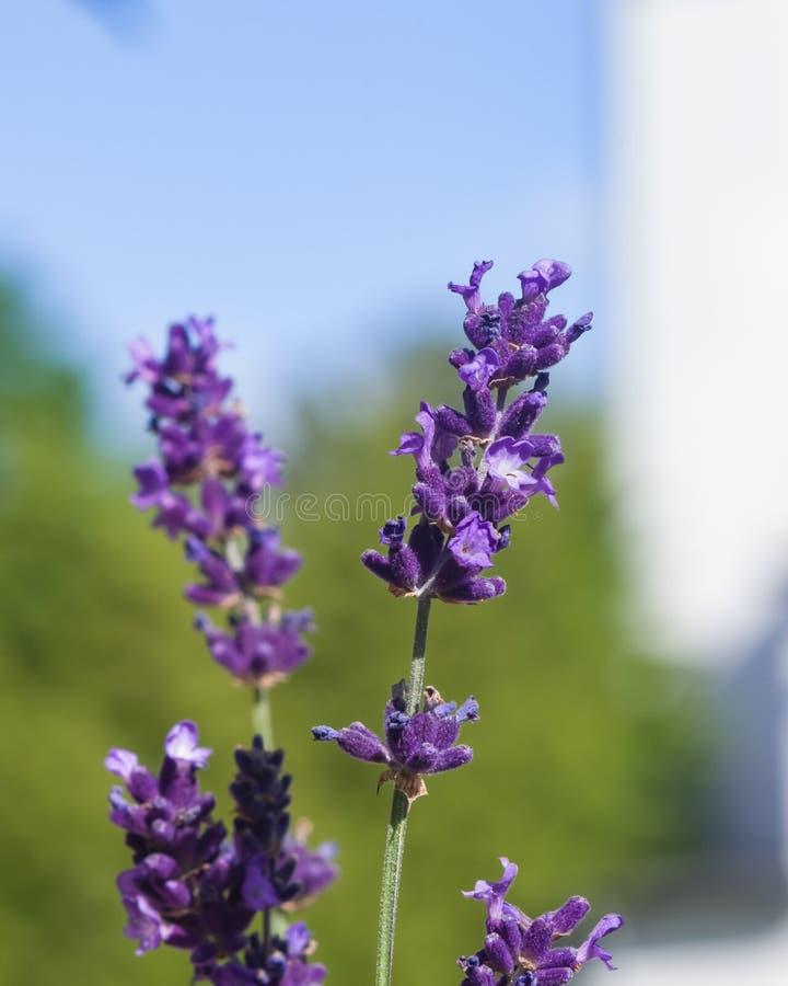 Alfazema, angustifolia do Lavandula, flores no macro da haste com fundo do bokeh, foco seletivo, DOF raso fotografia de stock