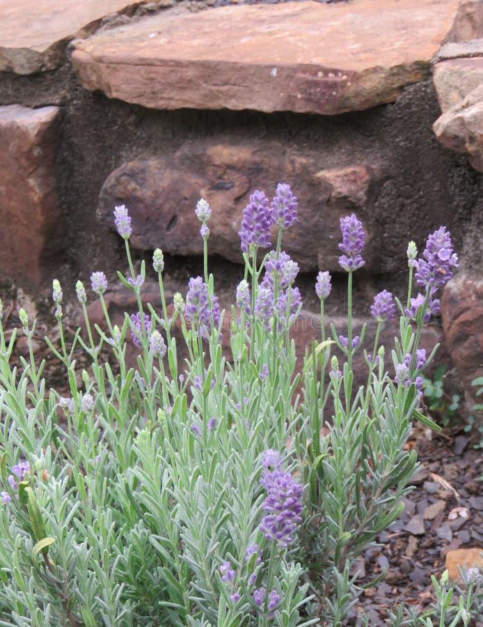 A alfazema da erva que cresce em um jardim de rocha fotos de stock