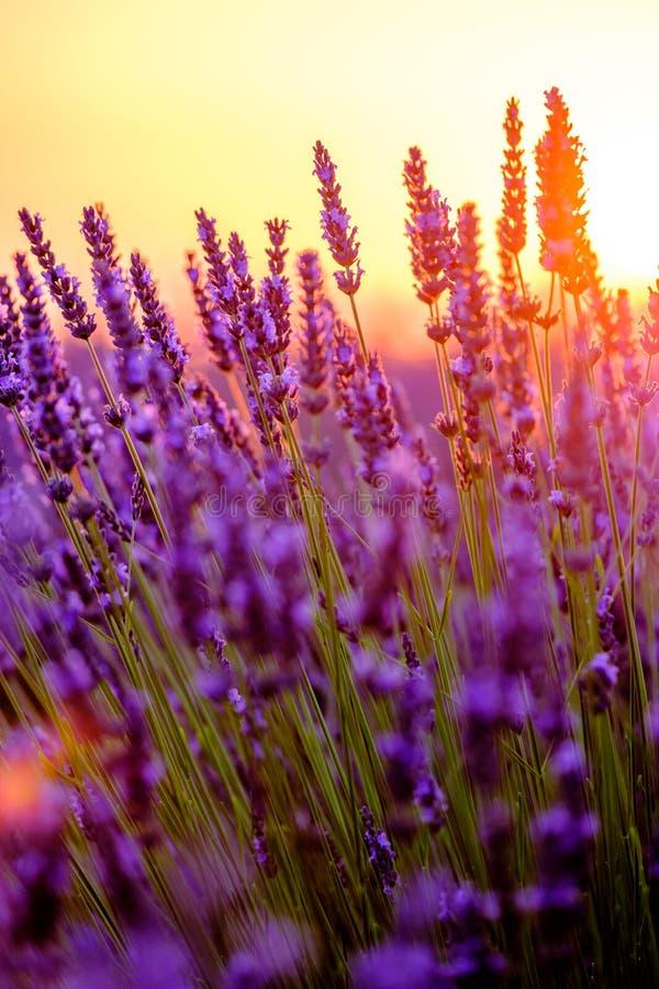 Alfazema de florescência em um campo imagens de stock royalty free