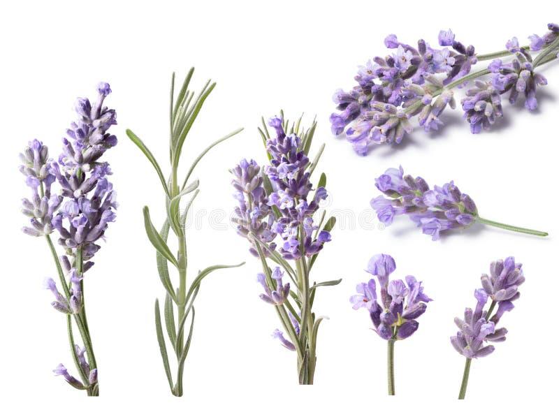 Alfazema de florescência (Lavandula), trajetos de grampeamento fotos de stock royalty free