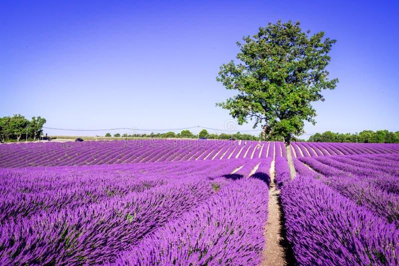 Alfazema de Valensole em Provence, Fran?a fotos de stock