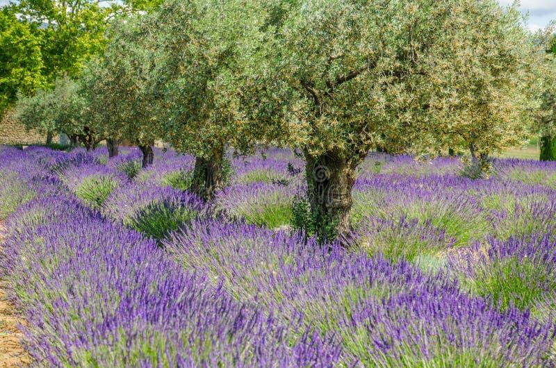 Alfazema em seguido e oliveiras imagens de stock royalty free
