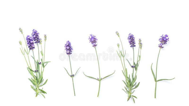 A alfazema floresce a configuração floral do plano da bandeira fotografia de stock